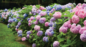FeaturedImage-floweringshrubs