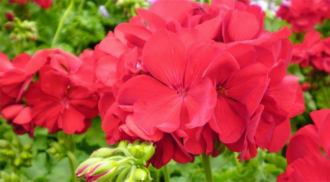 calliope-geranium