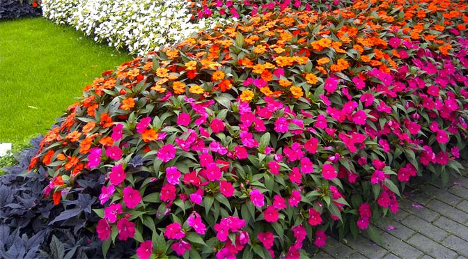 impatiens spreading sunpatiens crystal lake garden shop. Black Bedroom Furniture Sets. Home Design Ideas