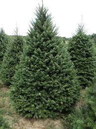 Balsam Fir christmas tree winter hours