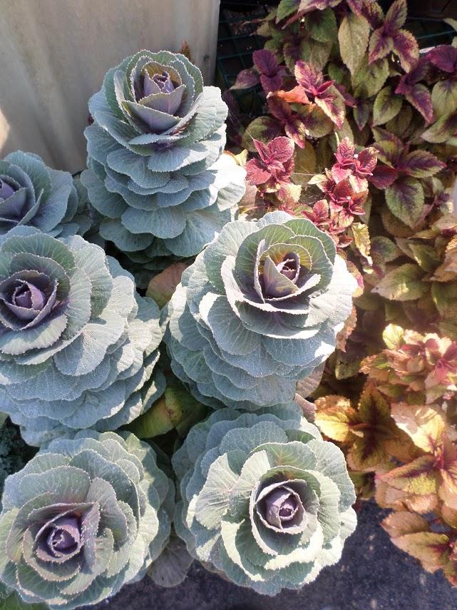 Decorative Kale - Fall