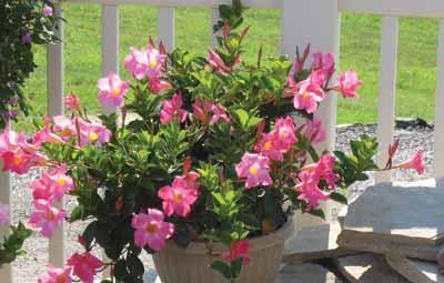 Blooming Madinia