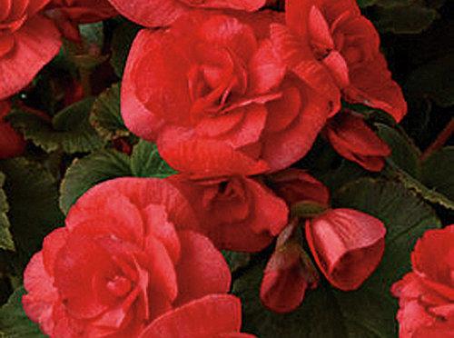 Solenia Begonias
