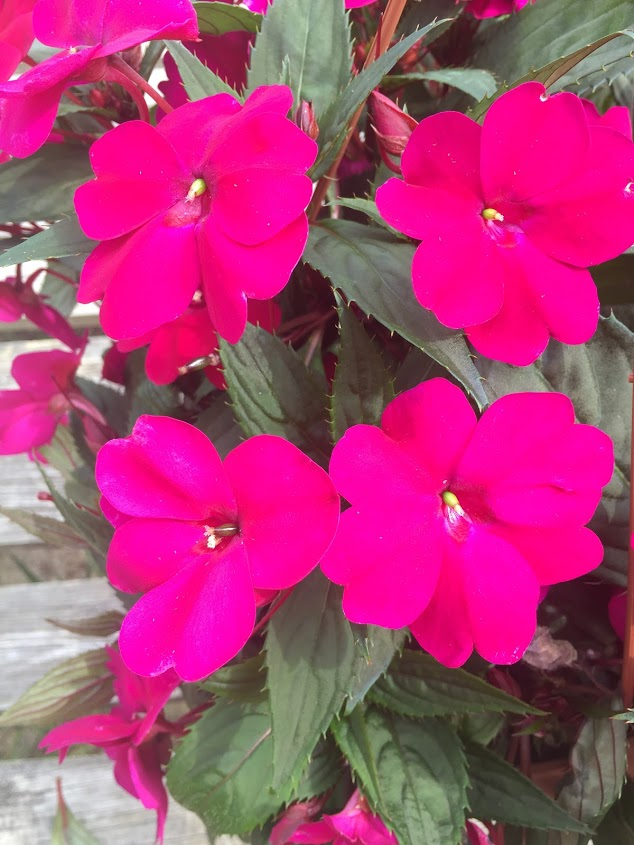 SunPatiens Compact Purple - Close up