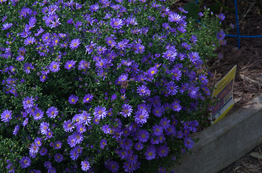 Pretty Purple Aster