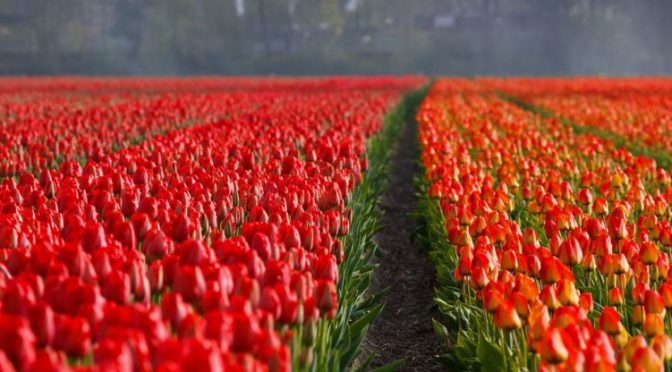 Spring Fever? Let's visit Keukenhof in Holland!